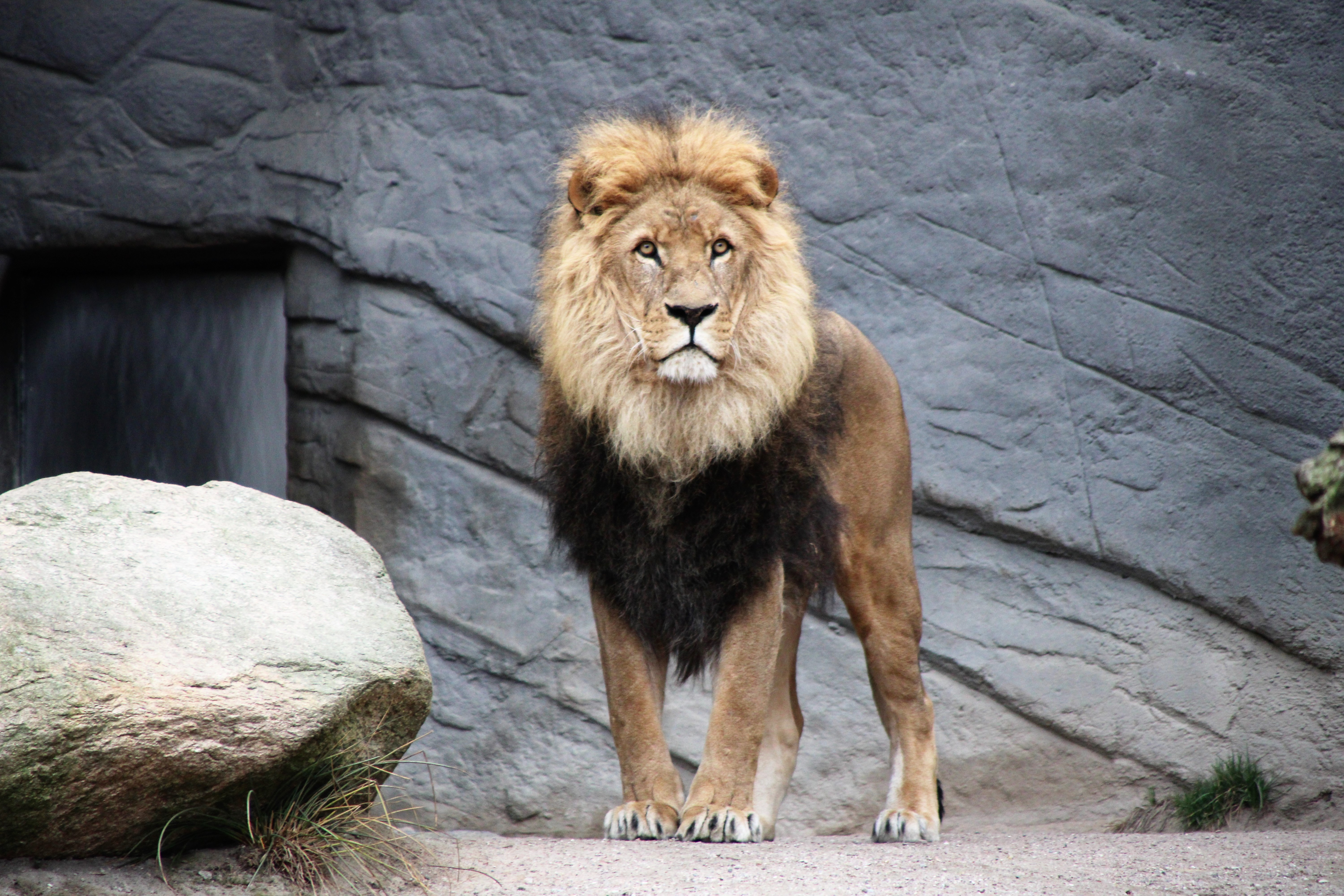 The Zoo Lion Is Like a Hurricane